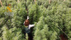 La Guardia Civil interviene 125.000 plantas de cannabis en ocho plantaciones de cáñamo y detiene a seis personas